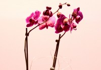 orquídea duas hastes - Jardim da Celeste