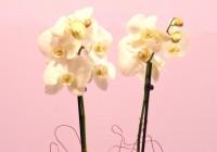 orquídea duas hastes em vaso - Jardim da Celeste